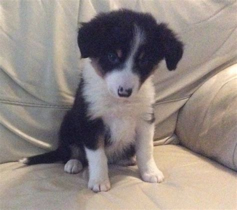 border collie puppies idaho border collie puppies in orpington gumtree