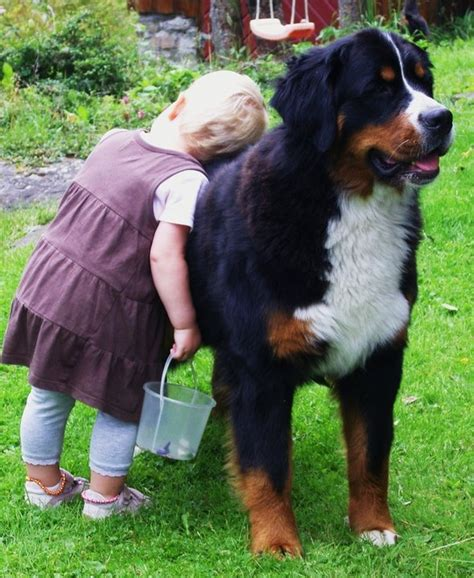 bernese mountain size best 25 puppy ideas on adorable puppies