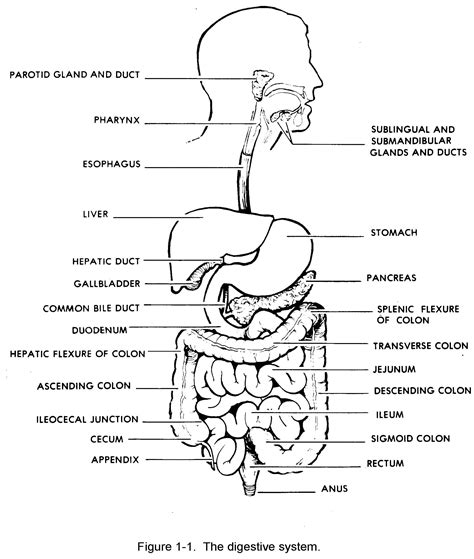 System Of A Black digestive system diagram black and white unlabelled