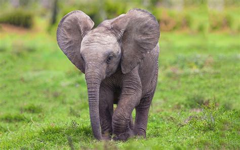 Wallpaper Elefante Cute | baby elephant wallpapers baby animals
