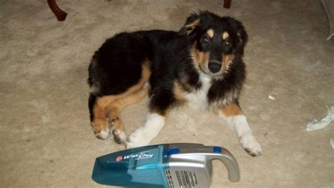 are rottweilers born without tails december 171 2011 171 australian shepherd tips