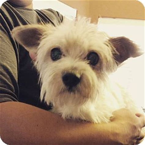 arizona yorkie rescue az yorkie terrier westie west highland white terrier mix meet