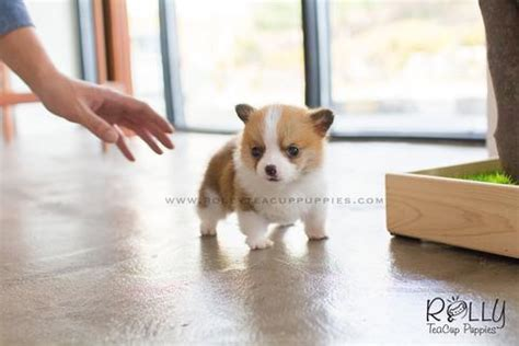 rolly teacup puppies for sale and hair chihuahua rolly teacup puppies