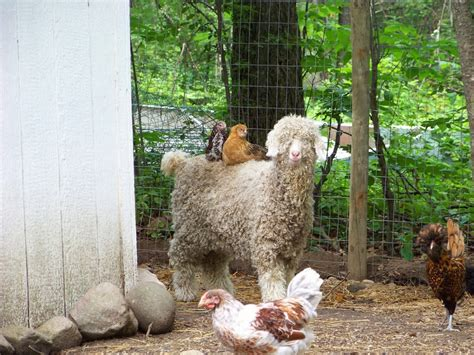 How To Raise Laying Hens In Your Backyard by 100 How To Raise Laying Hens In Your Backyard
