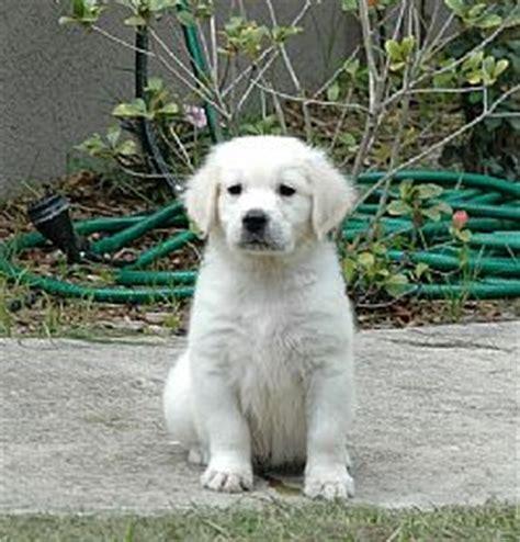 european golden retriever puppies golden retriever breeders and golden retrievers for sale