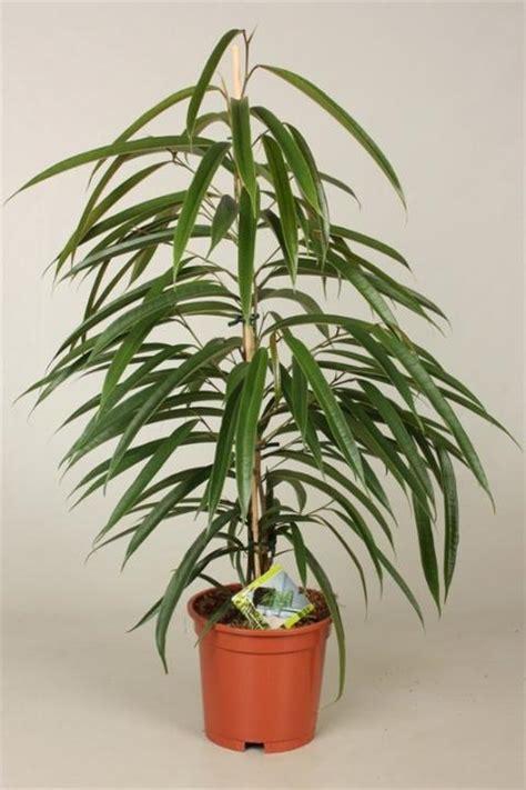Landscaping Pictures Ficus Binnendijkii Alii Netplant We Export Plants To