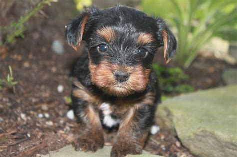 yorkie puppies for sale in pittsburgh terrier puppies for sale pa photo