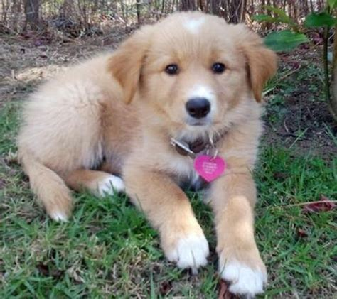 golden retriever and border collie mix golden collie border collie x golden retriever mix temperament puppies