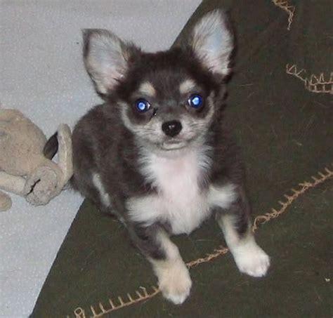 chihuahua husky mix puppies 17 mejores ideas sobre husky chihuahua mix en alaskan klee cruce de