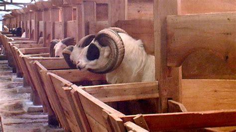 Bibit Kambing Kurban koleksi domba adu peternakan domba adu