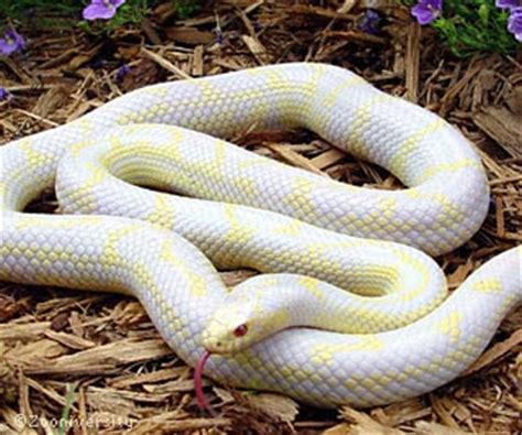 king snakes pictures animals planet