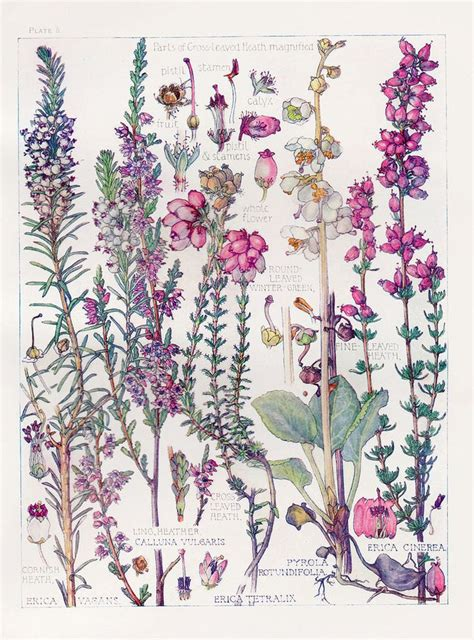 botanical illustration tattoo botanical print heathers by watercolour