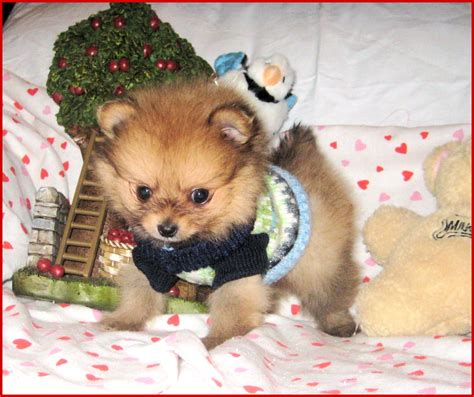 toys for pomeranian pomeranian puppies for sale in florida poofy poochies