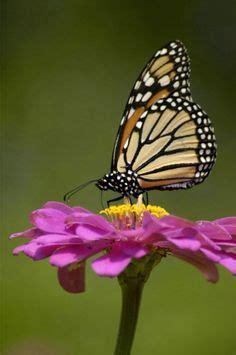 imagenes de mariposas reales un racimo de mariposas little animals peque 241 as bestias