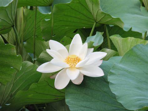 imagenes te blanco el loto blanco una poderosa planta medicinal ayurv 233 dica