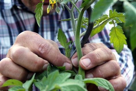 Wie Pflege Ich Tomatenpflanzen 5105 by Gartentipps Im Juni Nutzgarten Gartenzauber