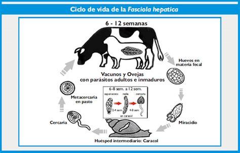 fasciola hep 225 tica en rumiantes bm editores - Cadena Epidemiologica Fasciolosis