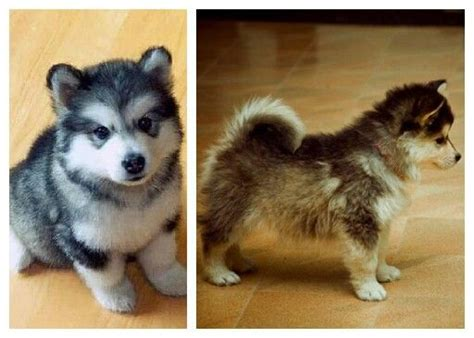 cross between a pomeranian and a husky a pomsky a cross between a pomeranian and a husky i want one pomsky