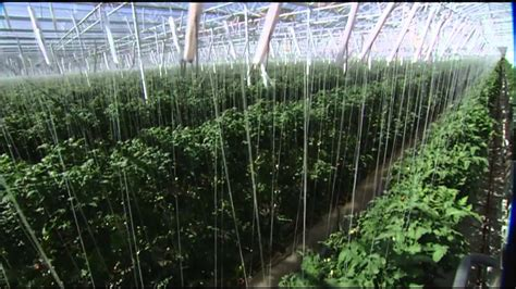 future  farming hydroponic tomatoes youtube
