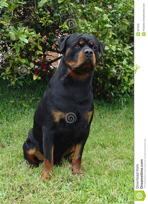 purebred german rottweiler price rottweiler sitting royalty free stock image image 837946