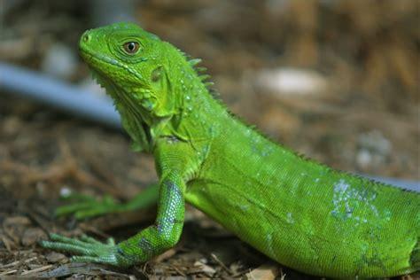my iguana joanna brandi blogs