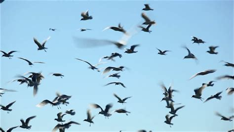 flock of birds on green screen digital animation stock footage 183106