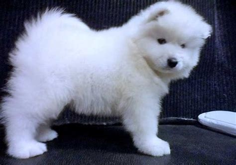 samoyed puppies for adoption samoyed puppies for adoption in kearsley pets for all