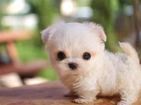 snowball puppy snowball puppy puppies