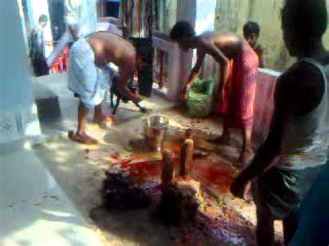 kali worship human sacrifice animal sacrifice in kali puja silchar youtube