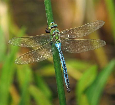 hedgeland tales emperor dragonfly