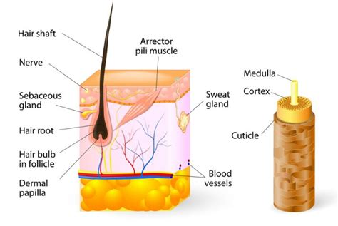 hair cross section hair with skin gross anatomy anatomy note