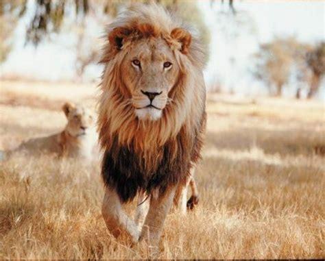 imagenes de leones bravos top 15 felinos extintos o en peligro de extinci 243 n