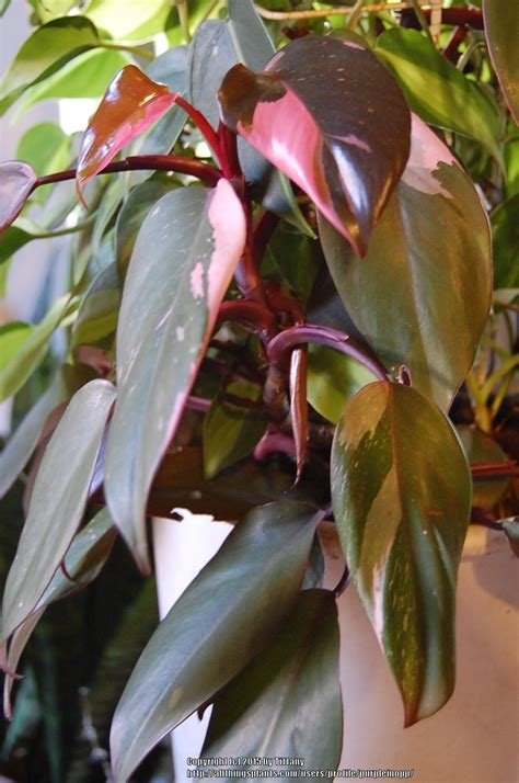 photo   leaves  blushing philodendron philodendron