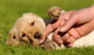 teeth and puppy teething ages and stages