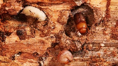 mountain pine beetle facts habitat diet life cycle