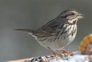 ohio bird photo collection song sparrow