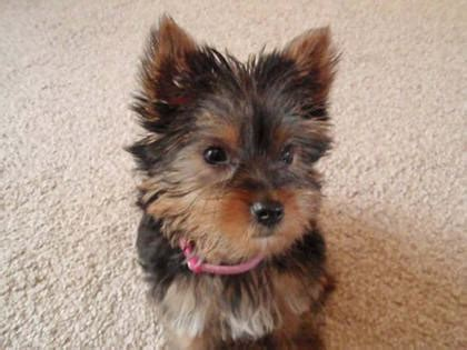 short haired dorkie mixes short haired dorkie mixes yorkie and chihuahua mix