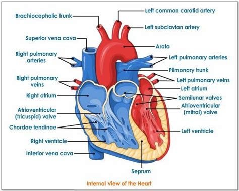 sections of the heart c circulatory system biology4isc