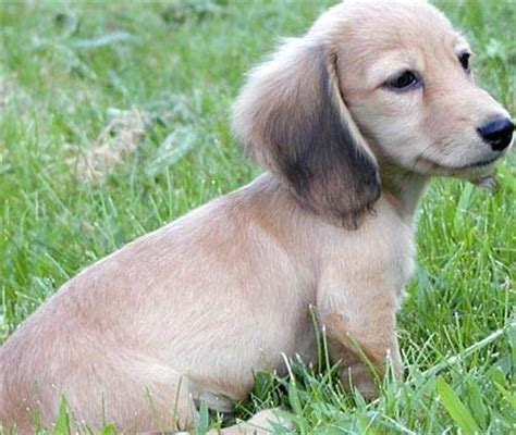 golden retriever dachshund for sale rottweiler puppies for sale westchester new york ny westchester breeds picture