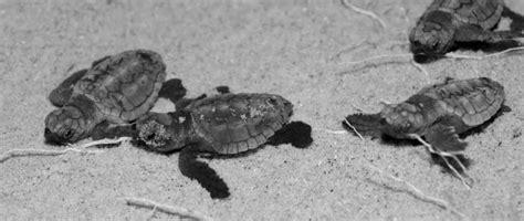 tartarughe marine alimentazione nascite di tartarughe marine