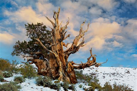 oldest living pug bristlecone pine is one of world s oldest living organisms mnn nature network