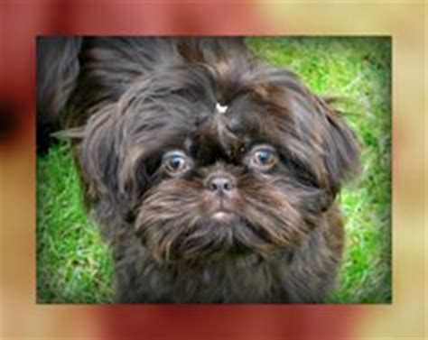 puppies for sale in tri cities wa 1000 images about pretty pets on shih tzu shih tzu puppy and teacup poodles