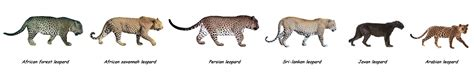 difference between jaguar leopard and panther comparison between jaguar leopard and