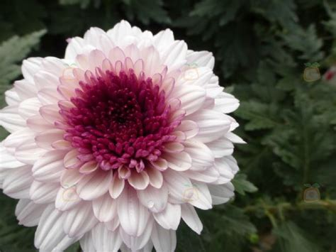 el crisantemo y la 8420653705 el cultivo del crisantemo