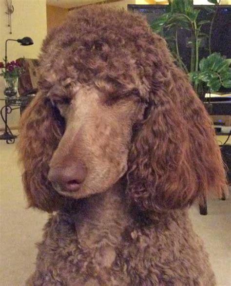 Royal Standard Poodle Brown