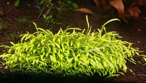 aquascape plants for sale aquascape plants for sale 28 images ug utricularia