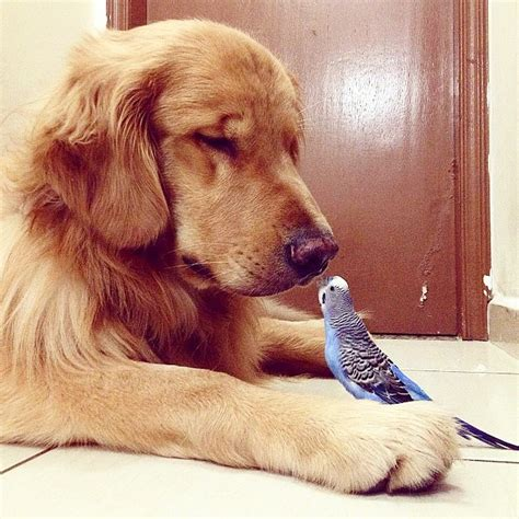 golden retriever with birds lovable lives harmoniously with 8 birds and a hamster my modern met