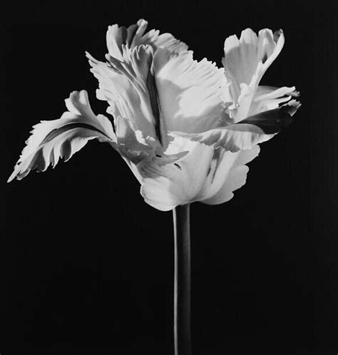 mapplethorpe fiori 17 best images about flowers robert mapplethorpe on