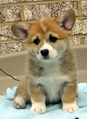corgi puppy adoption corgis faerydog corgi rescue