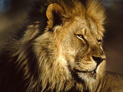 imagenes de leones national geographic error